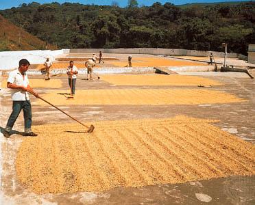 dry process coffee